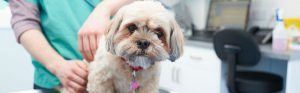 lhasa apso with vet