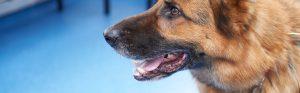 German shepherd at the vets